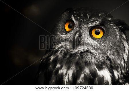 Portrait black and white Eurasian eagle-owl with yellow eyes. Poster owl.