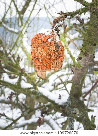 A shining orange wrinkled apple hanging on a wintry apple tree