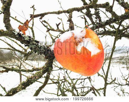 Snow covered red apple on an apple tree eroded by birds