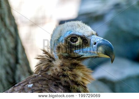 Image head of a large vulture bird