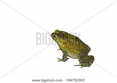toad standing isolated in the white background