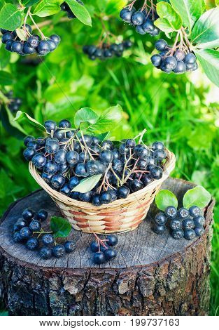 Black ashberry in a basket in the garden on the stump