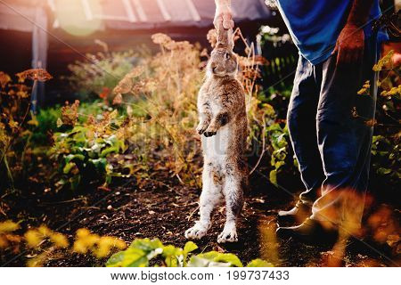 male farmer is holding a brownish gray rabbit hare giant over the garden background, a dark background. Blick light. Concept farm for breeding animals, pest garden, rodent.
