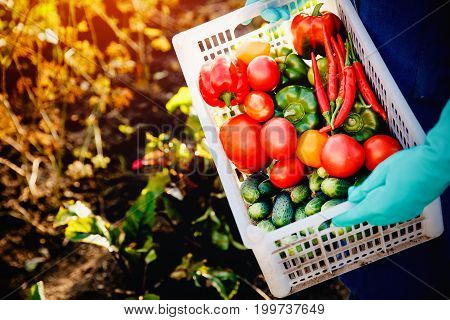 Close-up of a farmer wearing gloves holding with freshly harvested vegetables in garden: green cucumbers, red and yellow tomatoes, peppers, chili peppers. Concept harvesting in autumn, eco-farm. Blick light and sun.