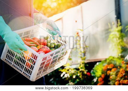 Close-up of a farmer wearing gloves holding a basket of a box of vegetables: green cucumbers, red and yellow tomatoes, peppers, chili peppers. Concept harvesting in autumn, eco-farm. Blick light and sun.