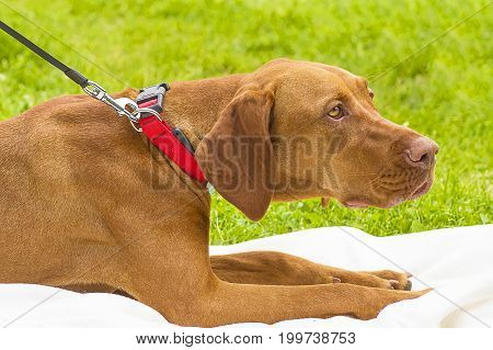 Rhodesian ridgeback - a hunting breed of dogs. Head with open jaws against the background of green blurred grass, a look forward to a close-up. Space under the text. 2018 year of the dog in the eastern calendar