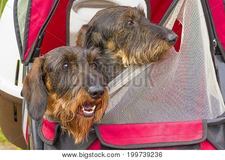 The head of the terrier looks out of the bag, green background. Space under the text. 2018 year of the dog in the eastern calendar Concept: parodist dogs, dog friend of man, true friends, rescuers.