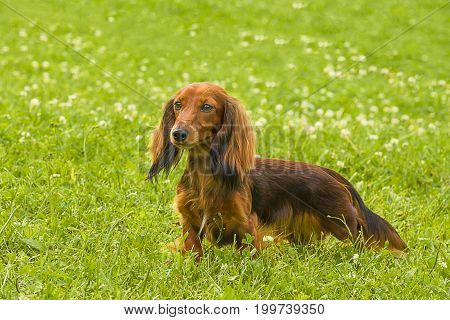 Typical Dachshund Long-haired Standard Red, green background. Space under the text. 2018 year of the dog in the eastern calendar Concept: parodist dogs, dog friend of man, true friends, rescuers.