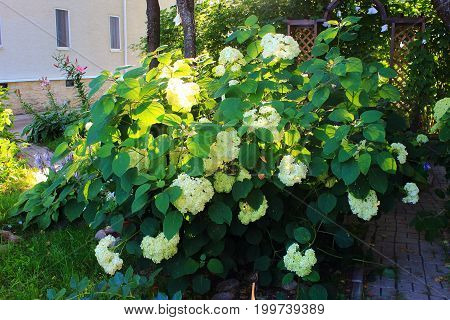 Viburnum flowers clusters on a bush in the garden.  White viburnum Snowball flowers. Care of garden flowers and shrubs poster
