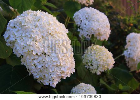 White Viburnum flowers clusters on a bush in the garden.  White viburnum Snowball flowers. Care of garden flowers and shrubs poster