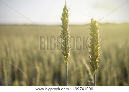 The crop of rye in a field at sunset.
