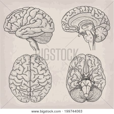 Anatomical Brain human illustration. Medicine Vector illustration poster. Anatomical high detailed. Medical study front back top view side sign info graphics banner