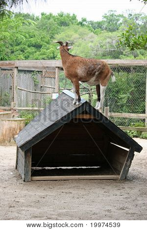 A goat standing on the roof top. poster