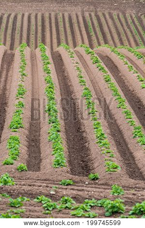 Rows of newly emerging potatoes growing in a well managed field in the spring