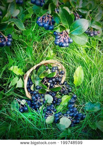 Black ashberry in a basket in the garden on the grass