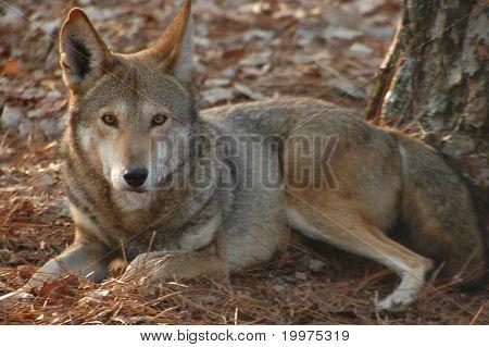 Wolf, rot (Canus Rufus)