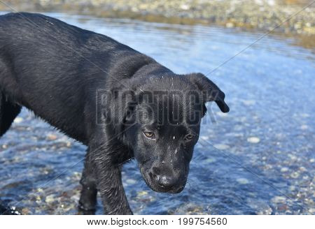 Dirt stuck to the face of a black lab puppy in the ocean.