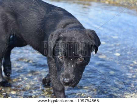 Very sweet face of a black lab pup with chestnut brown eyes.
