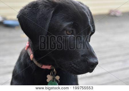 Three month old black lab puppy dog.