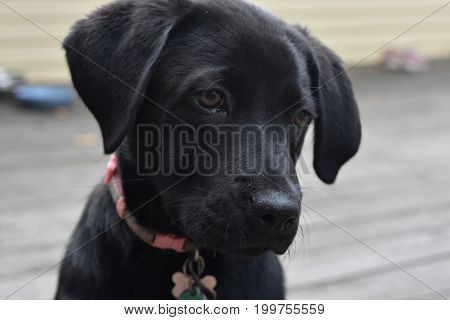 Really beautiful face of a black lab puppy dog.