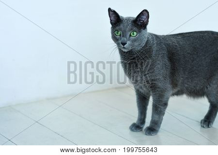Russian shy blue cat standing in coner