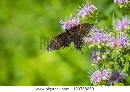 Spicebush Swallowtail (Papilio troilus) butterfly with a broken wing perched on bee balm flower