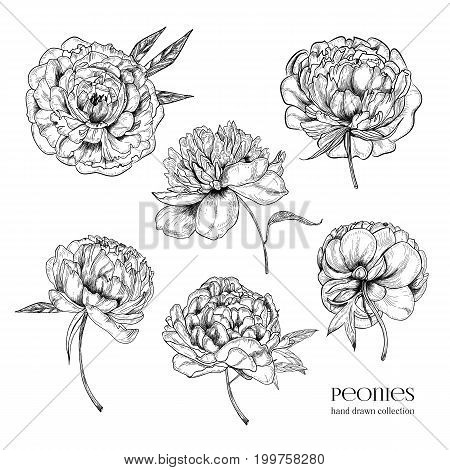 Beautiful peonies set. Hand drawn detailed blossom flowers and leaves. Black and white vector illustration collection