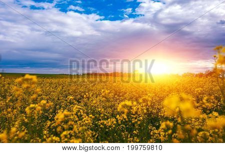 Canola field landscape on a background of clouds. Canola biofuel organic.