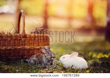 Close-up of small children rabbits hares white and gray show the tongue and laugh at the background of the basket. Summer and autumn colors. Concept card, farm. Blick light.