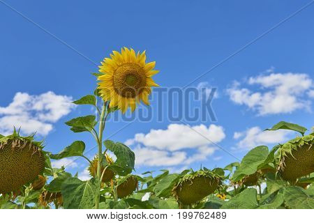 View on big mature sunflower in sun flowers field on blue sky. Sunflower field background. Abstract alone sunflower. August summer sun