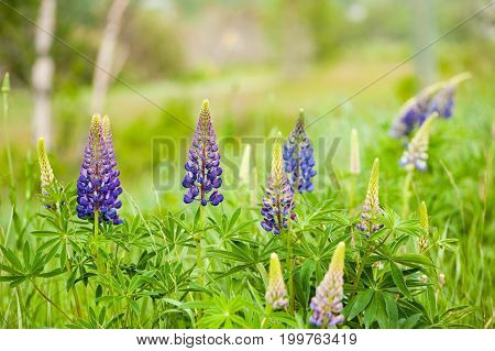 Purple Lupins Growing In The Field