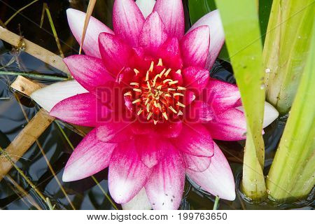 The Pink Waterlily flower among Lily Pads