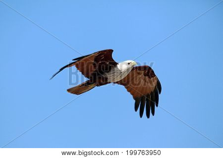 Eagle Flying in Clear Blue Sky India