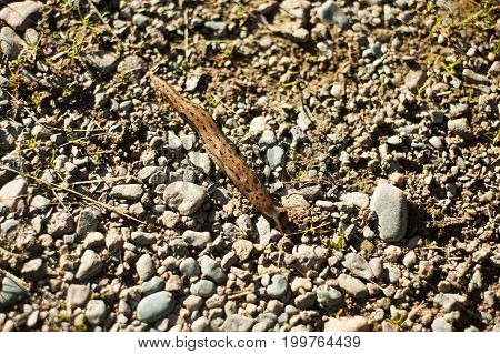 Leopard Slug On The Path