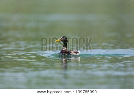 Portrait Male Mallard Duck (anas Platyrhynchos) Swimming