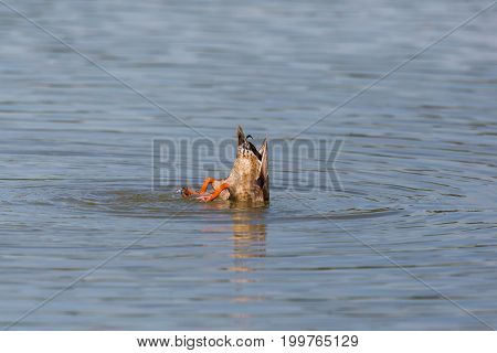 Tail Of Dabbling Duck While Feeding From The Bottom (anas Platyrhynchos)