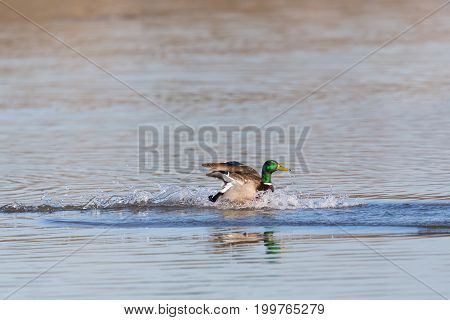 Natural Male Northern Mallard Duck (anas Platyrhynchos) Landing On Water Surface