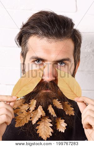 handsome bearded man with stylish mustache and autumn yellow leaves in long beard portrait on serious face on white brick wall background