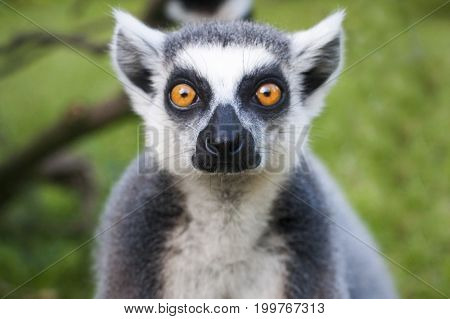 Lemur face close-up stares on people. Meet wildlife