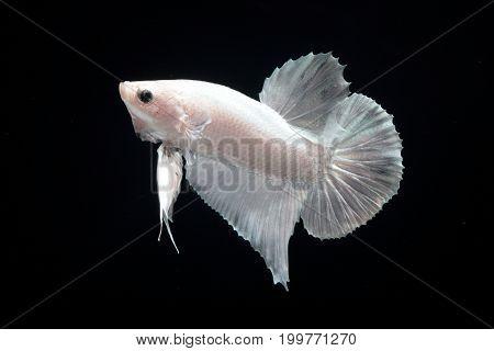 White platinum Fighting fish on black background.