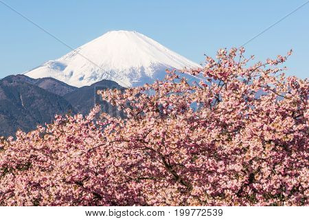 Kawazu Sakara and Mountain Fuji in spring season