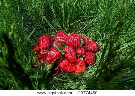 Big red fresh strawberries on green grass