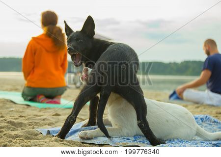 Zhytomyr, Ukraine - August 9, 2015: Group of young people and stray dogs practicing yoga on the seaside during the sunrise