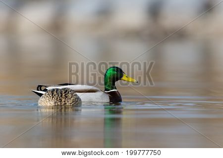 Pair Of Mallard Ducks (anas Platyrhynchos) Swimming