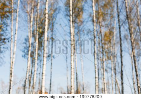 Autumn forest trees and sky blurred background. Fall season trees with yellow foliage bokeh, forest in nature.