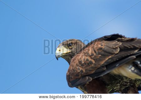 Bird of prey. Haris's hawk (Parabuteo unicinctus) falcon in close up with copy space.