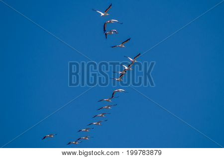 Flock of White Pelicans Flying in a Blue Sky