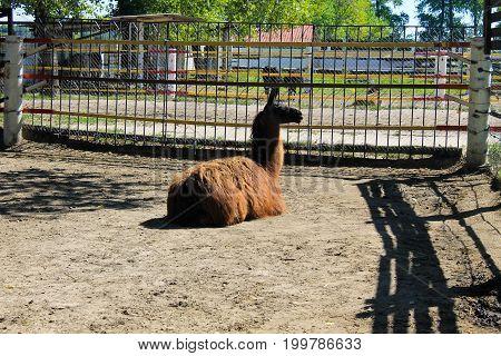 Llama In Paddock