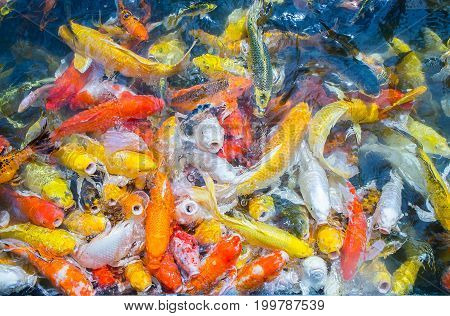 fancy carp fishs swim in the pond color carp fish
