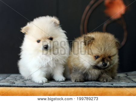 Two Adorable Pomeranian Puppies